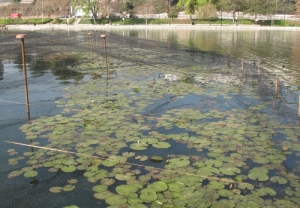 water lilies at Echo Park lake