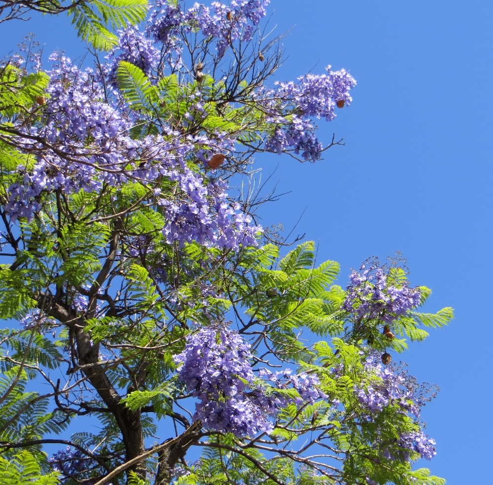Brazilian jacaranda trees lacitypix the purple flowers only last a few days maybe a week or so and when mightylinksfo