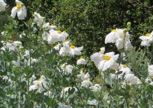 Matijila poppies