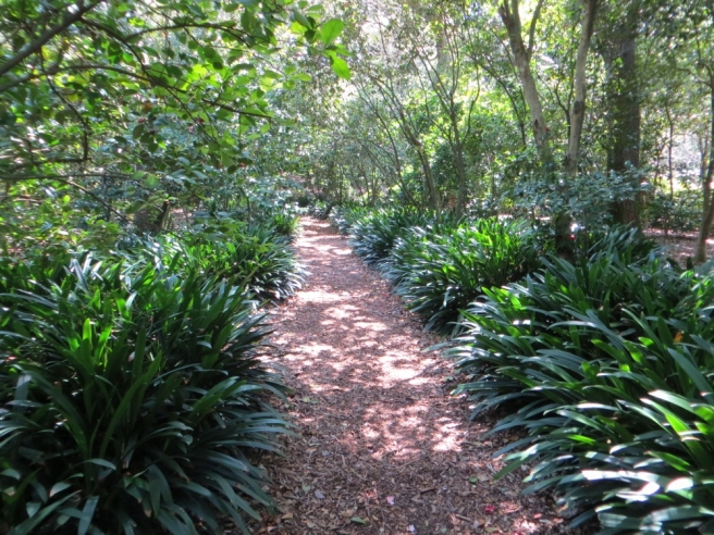Path lined with Clivia at Descanso Gardens