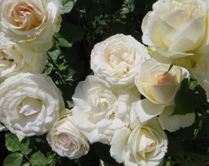 White Roses at Descanso Gardens