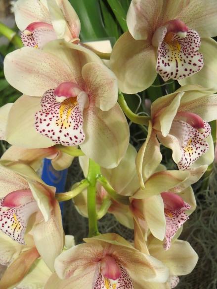 Cymbidium Cabaret 'Cream Puff' orchid