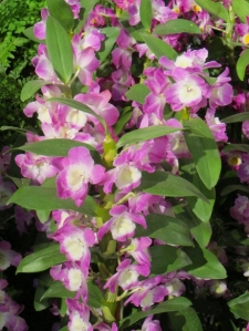At first glance I thought these were foxgloves. They actually are Dendrobium Nobile 'Violet Fizz'.