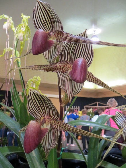 One of the oddities was this striped orchid with point petals.  I wonder how many years, how many generations of plants, it took to create it.