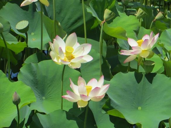 Lotus blooming at Echo Park
