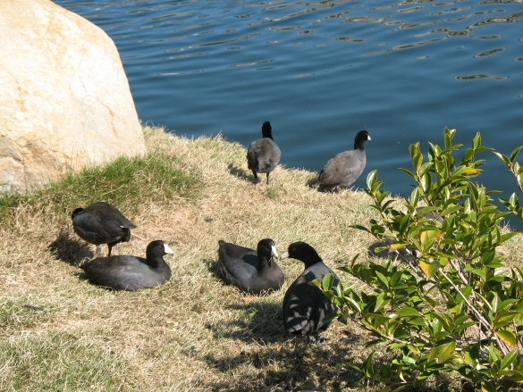 Coots at Tillman Water Plant
