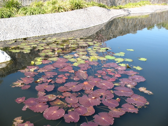 water lilies and sky reflections