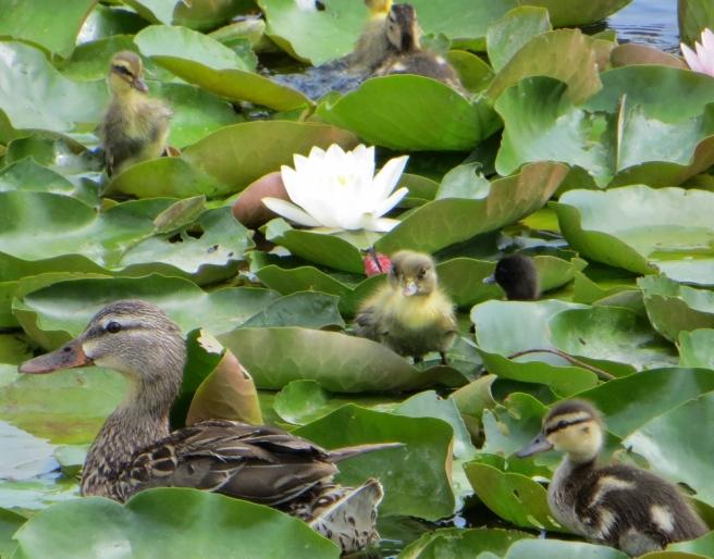 Duck and ducklings at Echo POark Lake