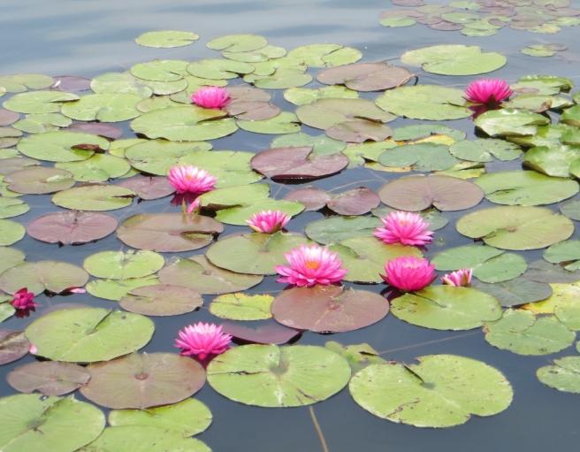 pink water lilies in bloom Echo Park lake