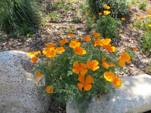 California poppies arroyo seco