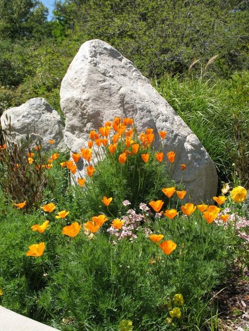 poppies at descanso garden