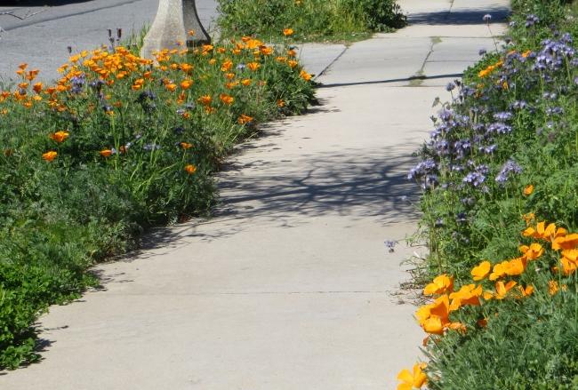 poppies line the sidewalks throop church