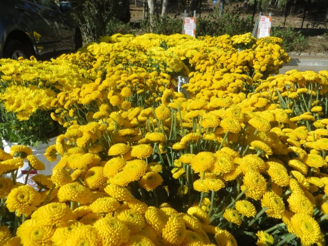 Yellow flowers for South Pasadena Rose Parade float