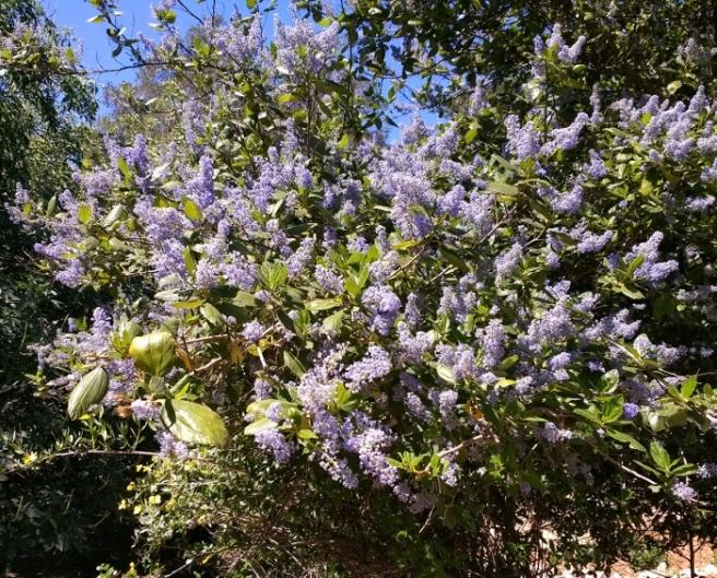 California 'lilac' ceanothus