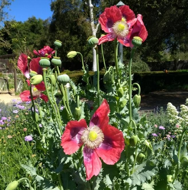 Red poppies in rose garden