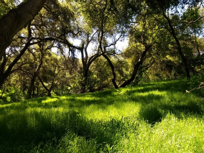 spring grass oak woodlands