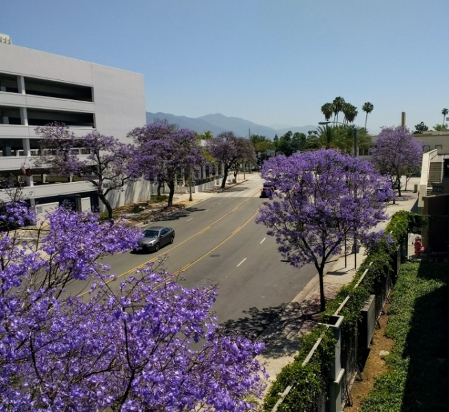 Jacaranda trees on Del Mar Pasadena near Lake st