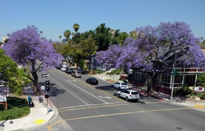 Jacaranda trees west on Del Mar Pasadena